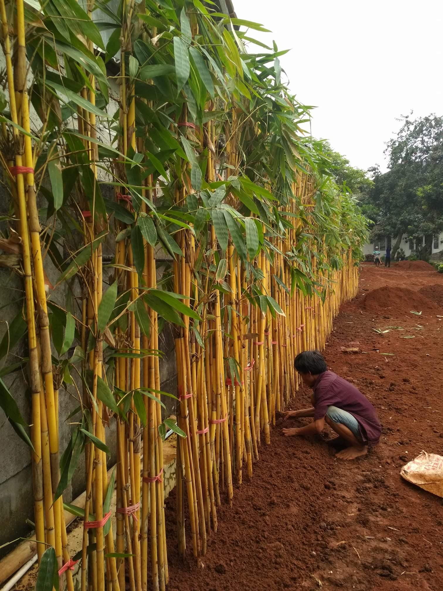 jual pohon bambu kuning
