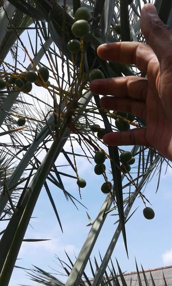 jual pohon kurma di bogor siap berbuah